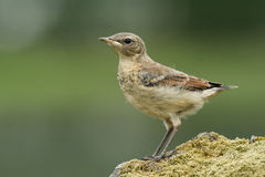 A cute baby Wheatear, Oenanthe oenanthe, perched on a mossy rock.. Stock Photos