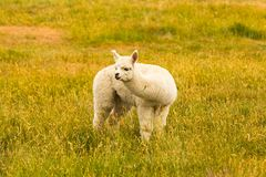 Cute baby white alpaca fram animal. Over green glass field Royalty Free Stock Photo