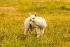 Cute baby white alpaca fram animal. Over green glass field royalty free stock photo