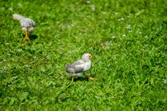 Cute baby white chick walking in the garden Royalty Free Stock Photos