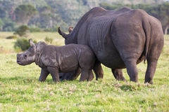 Cute Baby White Rhino and Mom. Baby white rhino with the start of a horn and ears pricked stock image