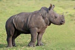 Cute Baby White Rhino stock images
