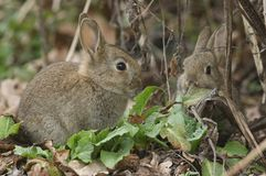 A cute baby Wild Rabbit disambiguation feeding on plants at the edge of woodland. A sweet baby Wild Rabbit disambiguation feeding on plants at the edge of royalty free stock photo