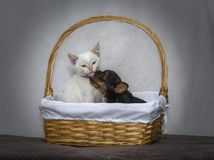 Yorkshire Terrier puppy kissing a white kitten in a wicket basket royalty free stock images