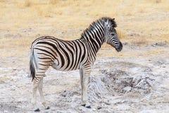 Cute baby of Zebra in african bush Stock Image