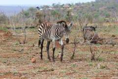 Cute Baby Zebra muddy stock images