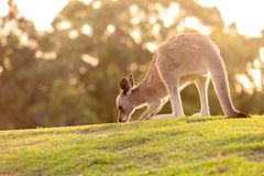 Cute backlit baby wallaby Royalty Free Stock Images