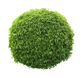 Cute ball shaped bush isolated on white background Stock Photography