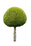Cute ball shaped tree isolated on white background Stock Image