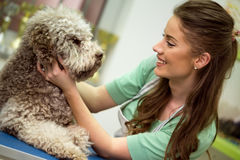 Cute Barbe dog royalty free stock images