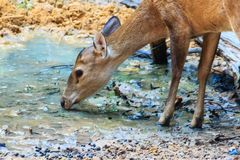 Cute Barking Deer, or Red Muntjac in common name or Muntiacus muntjak in Scientific name is drinking water in the stream at the na. Tional park Royalty Free Stock Photography