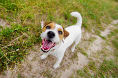 Cute barking dog. On field Stock Images