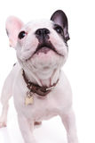Cute barking french bulldog puppy dog. Standing on white studio background Stock Images