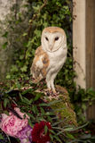 Cute barn owl Royalty Free Stock Photography