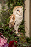 Cute barn owl Stock Images