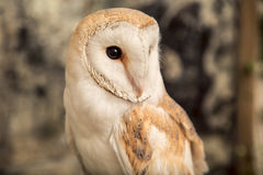 Cute barn owl Stock Image