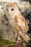 Cute barn owl Stock Photo