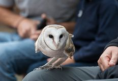 Cute barn owl, Tyto alba, with large eyes and face looks like a heart sitting on a lap of its owner in blue jeans. Tame. Cute barn owl, Tyto alba, with large royalty free stock images