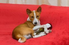 Cute basenji - alcohol lover Royalty Free Stock Photos