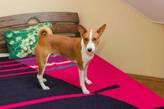 Cute basenji dog Royalty Free Stock Photos