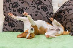 Cute basenji dog being in unusual pose on the sofa Stock Image