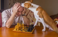 Basenji dog desperately licking its opponent during chess family tournament Royalty Free Stock Image