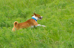Cute basenji dog galloping in the grass Royalty Free Stock Photos