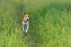 Cute basenji dog running in the grass Stock Images