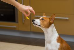 Cute basenji dog thinks about eat or not to eat lemon. This strange human food Stock Images