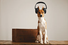 Cute basenji dog wearing headphones Stock Image