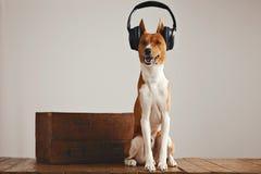Cute basenji dog wearing headphones Royalty Free Stock Photo