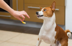 Cute basenji dog wonders about eating lemon Stock Photo