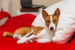 Cute basenji having rest Stock Image