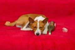 Cute basenji having rest Royalty Free Stock Photos