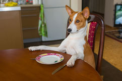 Cute Basenji sitting at the table Stock Photo