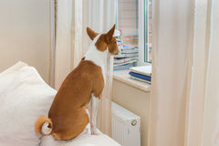 Cute Basenji is waiting master by the window Stock Photos