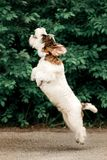 cute Basset Griffon jump on ground. green on background stock photos