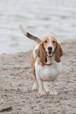 Cute Basset Hound at the beach Royalty Free Stock Photos