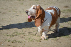 Cute Basset Hound Dog with a Pink Tongue. Basset hound with his pink tongue peeking out stock photos