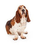 Cute Basset Hound Dog Sitting. A cute Basset Hound dog sitting looking up at the sky Royalty Free Stock Photo