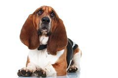 Cute basset hound l Stock Images