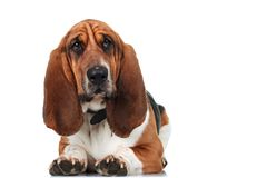 Cute basset hound lying down Stock Image