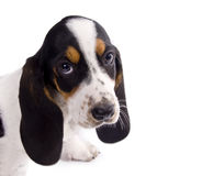 Cute basset hound puppy. Isolated on white Stock Images