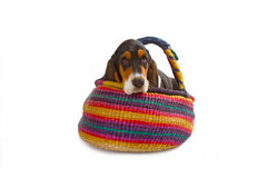 Cute basset puppy Royalty Free Stock Photo