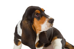 Cute basset puppy Royalty Free Stock Image