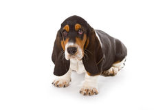 Cute basset puppy Royalty Free Stock Images