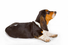 Cute basset puppy Stock Photography