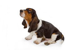 Cute basset puppy Royalty Free Stock Photos