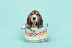 Cute basset puppy in a woolen basket on a blue background Royalty Free Stock Image