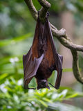 Cute bat hanging upside down on a branch Singapore Royalty Free Stock Images